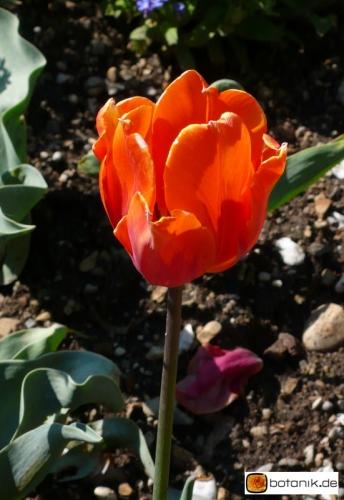 Tulipa Hermitage