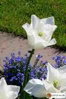 Tulipa Inzell