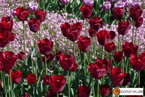 Tulipa Jan-Reus