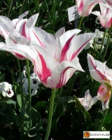 Tulipa Marylin