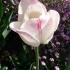 Tulipa Meissner Porzellan