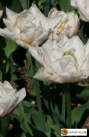Tulipa Montreux