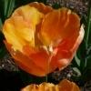 Tulipa Orange Lion