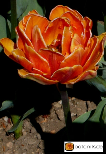 Tulipa Orange Prinzess