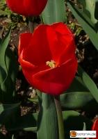 Tulipa Orange Sun