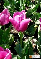 Tulipa Passionale