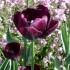 Tulipa 'Queen of Night' -- Tulpe 'Queen of Night'