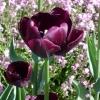Tulipa 'Queen of Night' -- Tulpe 'Queen of Night'