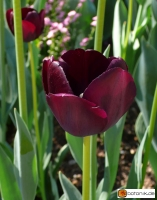 Tulipa Queen of Night