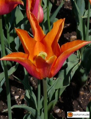 Tulipa Red Shine
