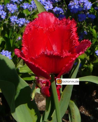 Tulipa Red Wing