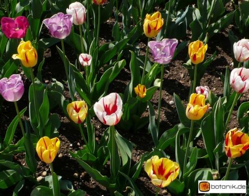 Tulipa Rembrandt Mischung