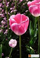 Tulipa Rosario