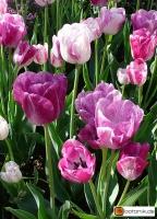Tulipa Shirley