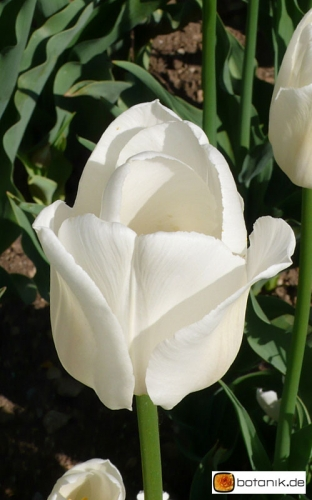 Tulipa Snowstar