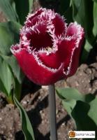 Tulipa Starfighter