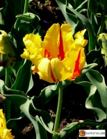 Tulipa Texas Flame