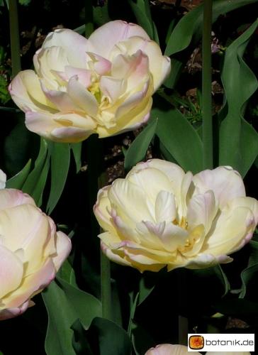 Tulipa Up Star
