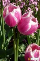 Tulipa Valentine