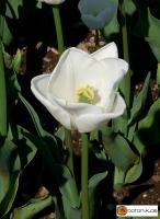 Tulipa White Dream