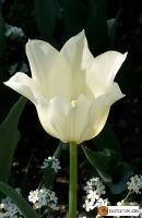 Tulipa White Elegance