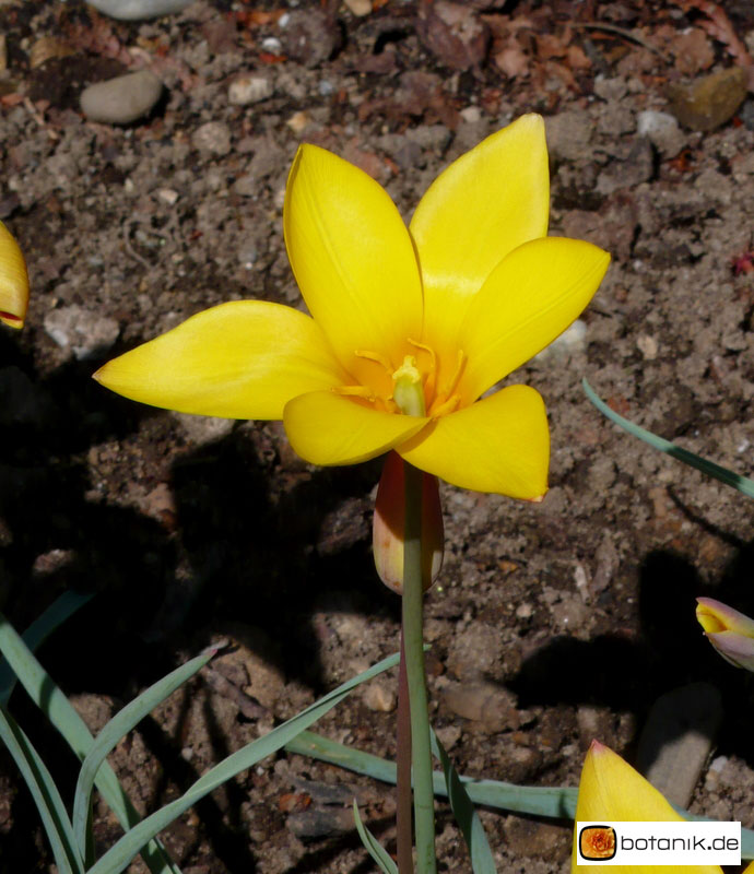 Tulipa clusiana
