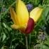 Tulipa clusiana 'Tubergens Gem' --