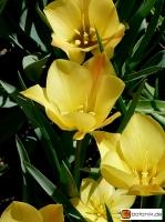 Tulipa linifolia Bronze Charm