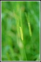 Triticum boeoticum -- Wildeinkorn