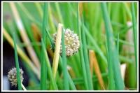 Allium fistulosum -- Lauchzwiebel