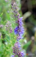 Hyssopus officinalis -- Ysop